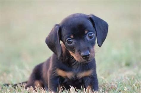 miniature dachshund puppy rescue miniature dachshund rescue dallas tx dogs our friends photo