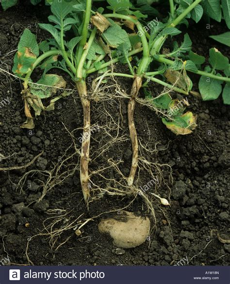 stems and foliage of a potato plant stem canker rhizoctonia solani on potato roots from