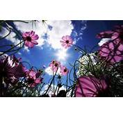 Flowers Nature Pink Worms Eye View Sun Cosmos