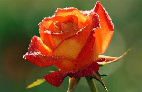 Full HD 1080p Orange Rose Wallpapers ? Flowers HD   HD