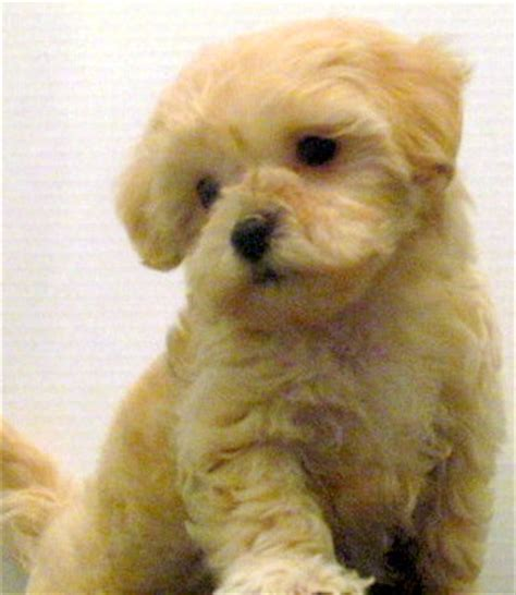 Non Shedding Cross Breed Dogs by Small Breed Designer Dogs
