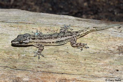 House Lizard by Common House Gecko Hemidactylus Frenatus