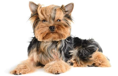 new yorkie puppy 45 adorable terrier images and pics golfian