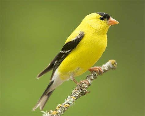 american goldfinch audubon field guide