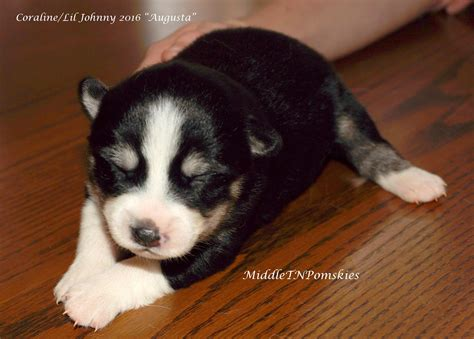 puppies for sale knoxville tn pomsky puppies for sale knoxville tn breeds picture