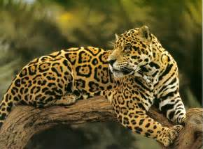 Who Are The Jaguars A Something About Animals Jaguar Or Leopard Whats