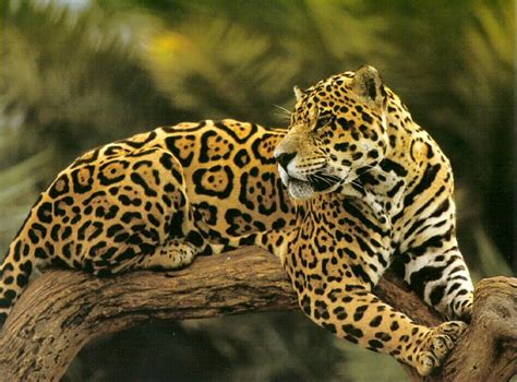 a something about animals jaguar or leopard whats