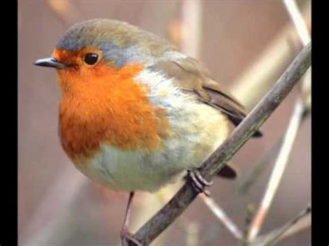 robin bird chirping youtube