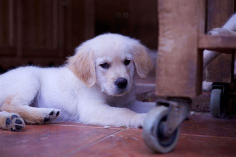 golden retriever puppy behavior golden retriever puppy temperament bred alresford hshire pets4homes