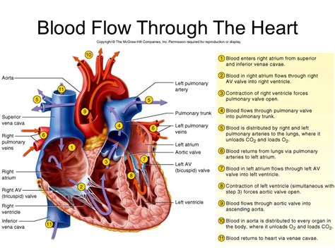 blood flow through the diagram step by step the cardiovascular system ppt