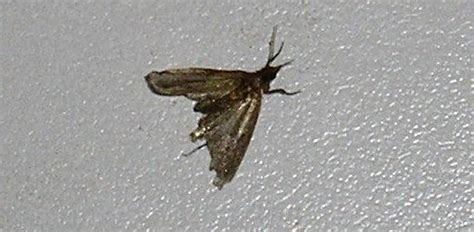 How To Get Rid Of Pantry Moths And Larvae In Your Kitchen Tiny Moths All House