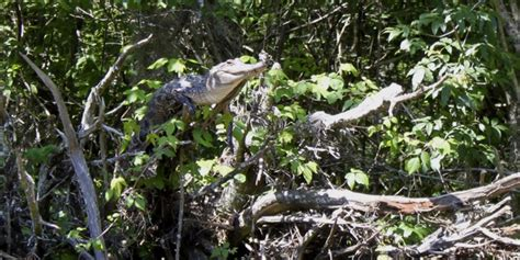 gator tree so turns out crocodiles can climb trees wired