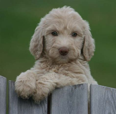 labradoodle puppies for sale missouri labradoodle puppies for sale february 2017 prairie ridge farm tennessee