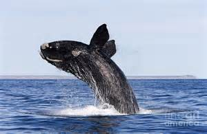 Shower Curtain Whale Southern Right Whale Photograph By Francois Gohier And