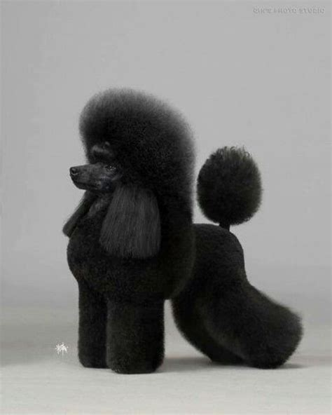 miniature french poodle hairstyles mini poodle poodle pinterest mini poodles poodle