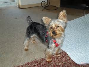 yorkie poo haircuts pictures yorkie poo haircut pictures puppy cut hairstylegalleries com