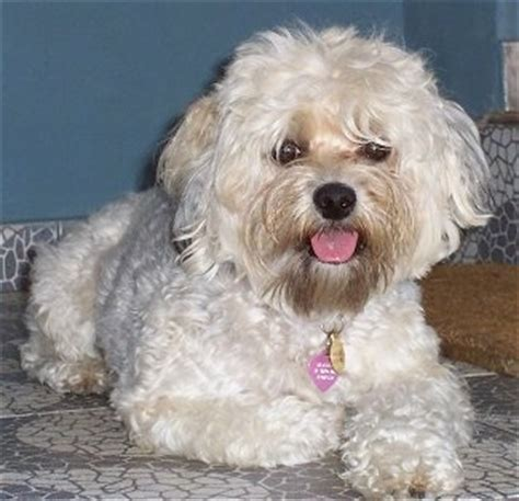 mix yorkie and poodle yorkipoo breed information and pictures