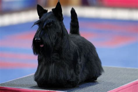 Do Scottish Terriers Shed by Small Dogs That Don T Shed American Kennel Club