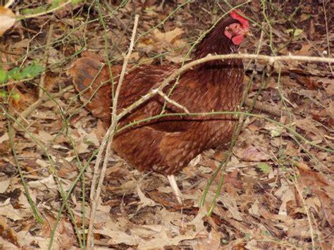 Backyard Chickens In Columbus Ohio Rir Or Hatching Eggs Backyard Chickens