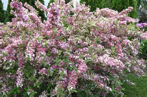 flowering evergreen shrubs full sun www pixshark com