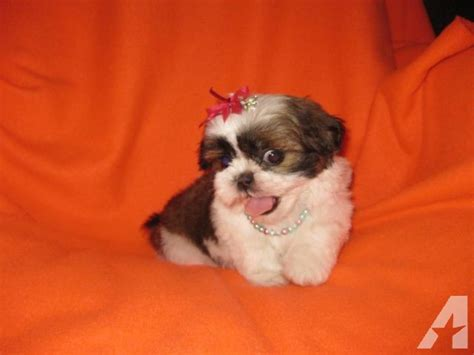 white imperial shih tzu beautiful white and brown imperial shih tzu puppy 8 weeks for sale in