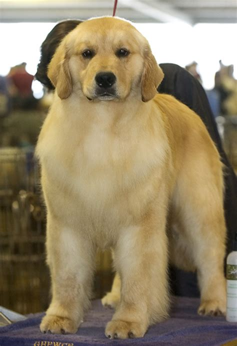 gemini golden retrievers puppy harry from gemini golden retrievers of rockledge florida