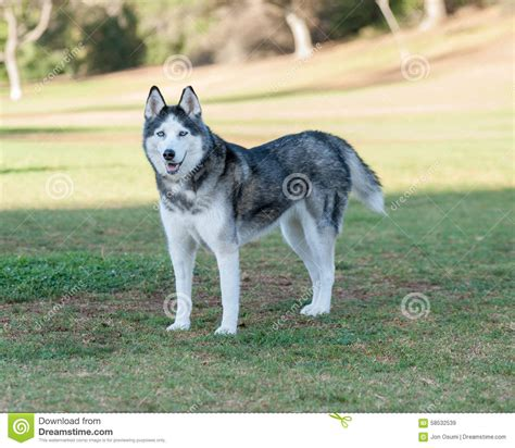 black tall standing l siberian husky standing tall stock photo image 58532539