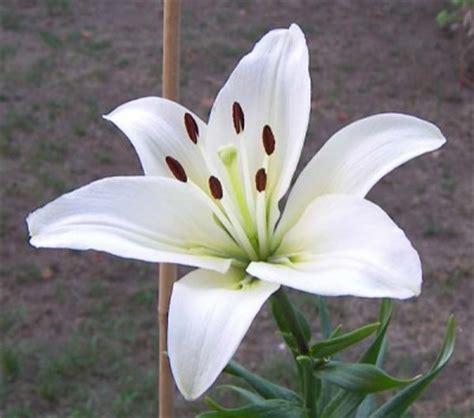 imagenes de lilis blancas plantas venenosa en nuestro hogar el blog de los mejores