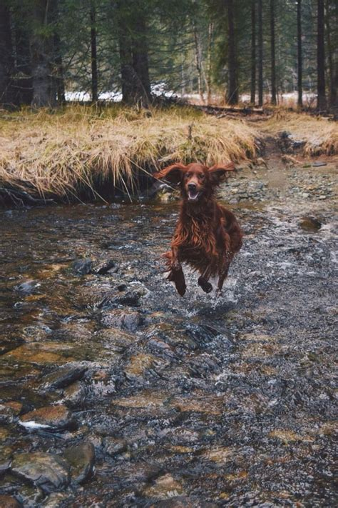 red setter definition 743 best images about red setter dogs on pinterest