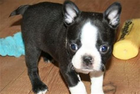 boston terrier puppies for sale in ny westchester puppies boston terrier puppies