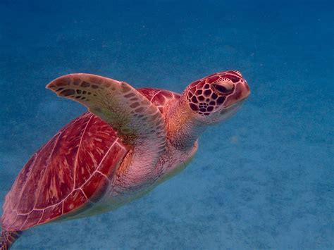 Day 5 Turtles by Day 5 161 Hasta La Pr 243 Xima Vez Culebra Sea Turtle Ecology