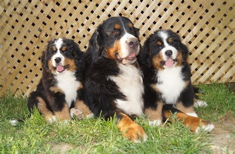 bernese mountain grown weight bernese mountain grown weight www pixshark images galleries with a bite