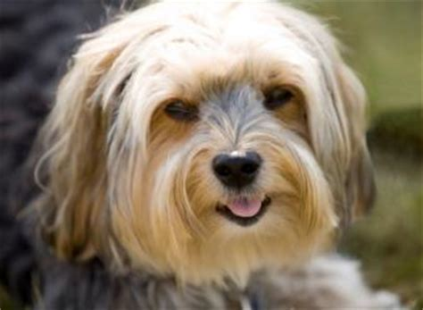 14 year yorkie problems yorkie poodle hybrid information and characteristics