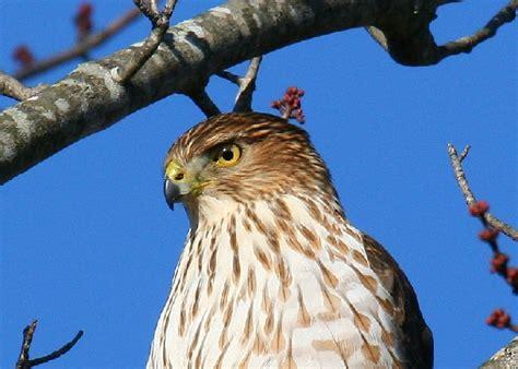 cooper s hawk