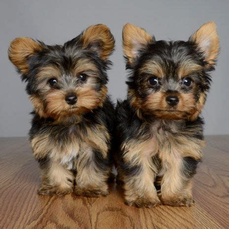 yorkie rescue yorkshire terrier dogs for adoption in yorkshire terrier puppies for adoption in cardiff west