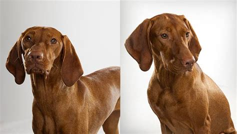 breed selector vizsla mix breed goldenacresdogs