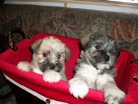 shih tzu schnauzer schnauzer cross shih tzu puppies neath neath port talbot pets4homes