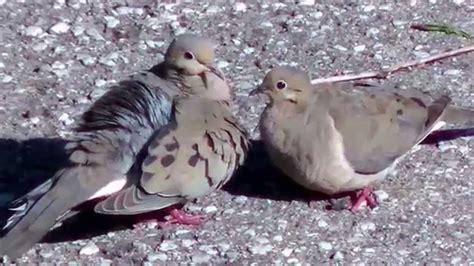mating mourning doves youtube