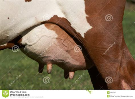 Udder Bull by Udder Stock Photography Image 5616802