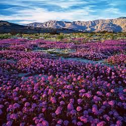 anza borrego bloom southern california s desert glory sunset