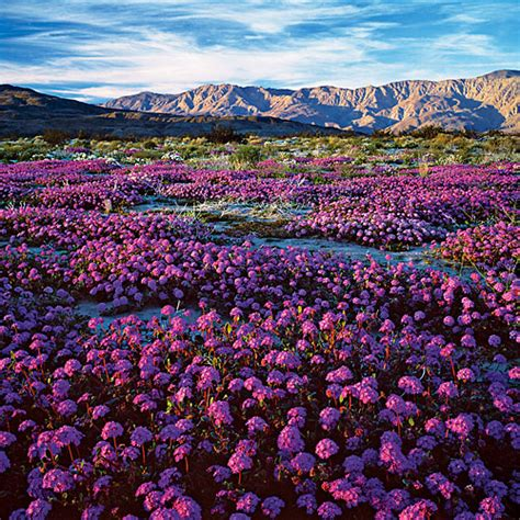 anza borrego wildflowers southern california s desert glory sunset