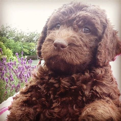 chocolate labradoodle puppies chocolate labradoodles breeds picture