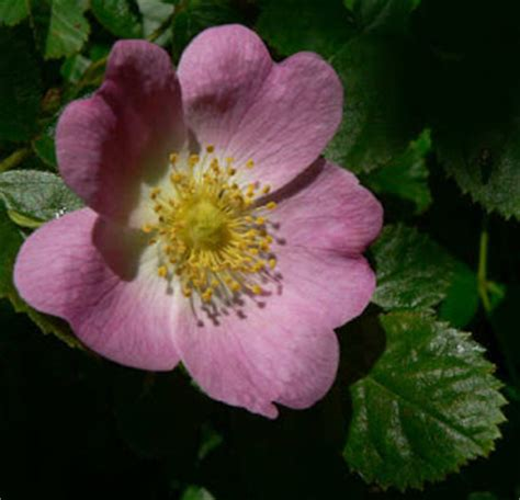 state flower of iowa inkspired musings wild prairie rose state flower of iowa