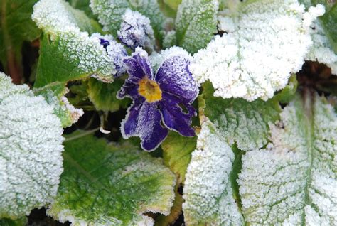 plants and frost using frost resistant plants in the garden