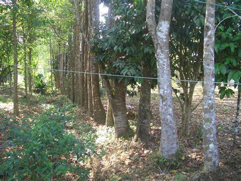 Bibit Pohon Kayu Gaharu pohon gaharu berharga jutaan rupiah liputanmadiun