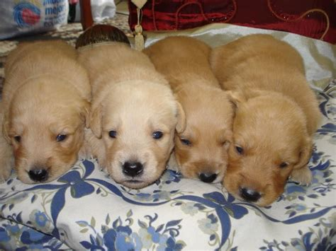 golden retriever newborn four baby golden retriever puppies baby golden retrievers pintere