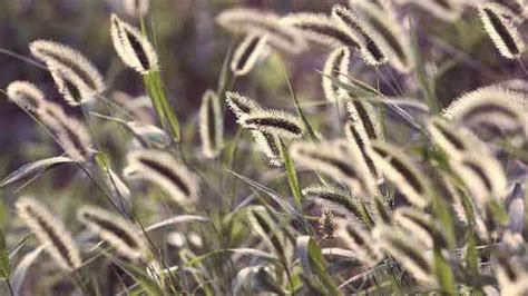 foxtail in s ear why foxtails and dogs don t mix petcarerx