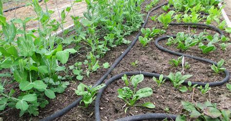 Soaker Hose Irrigation Vegetable Garden Andie S Way Irrigation System Soaker Hoses