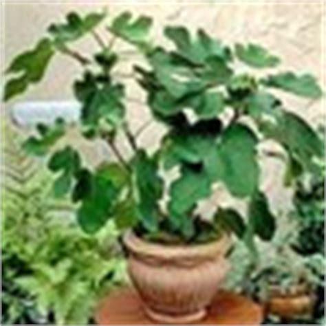 fico in vaso orto per tutti piante da frutto