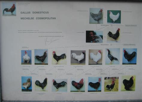 cosmopolitan chicken family tree  artist  breeding ch flickr